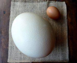 huevo avestruz www.tucaminodelbienestar.com