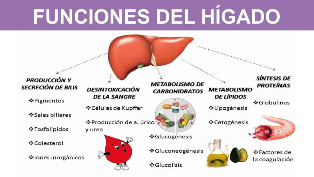 Hola, te presento a nuestro hígado ¿lo conoces? - Tu camino del ...