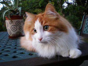 angora adoptar un gato www.tucaminodelbienestar.com