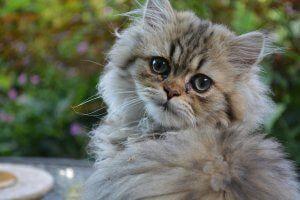 persa adoptar un gato www.tucaminodelbieenstar.com