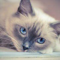 beneficios de tener un gato ragdoll adoptar un gato www.tucaminodelbienestar.com