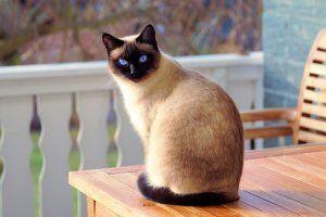 siames adoptar un gato www.tucaminodelbienestar.com