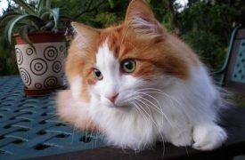 beneficios de tener un gato angora adoptar un gato www.tucaminodelbienestar.com
